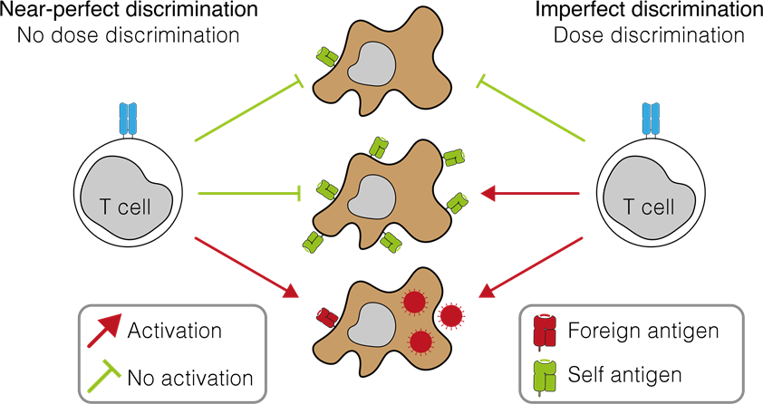 """A comparison between the classical view of T cell antigen recognition (""""near-perfect discrimination"""") and the new proposal based on the findings by Pettman et al (""""imperfect discrimination"""")."""