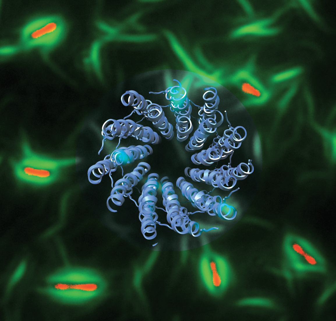 The atomic structure of a symbiotic bacteriophage (blue ribbon) was linked to a mechanism of antibiotic tolerance in Pseudomonas aeruginosa bacterial biofilms. Phage liquid crystalline droplets (green) form protective sheaths around bacterial cells (red),