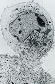 Microscope image of cell fusion